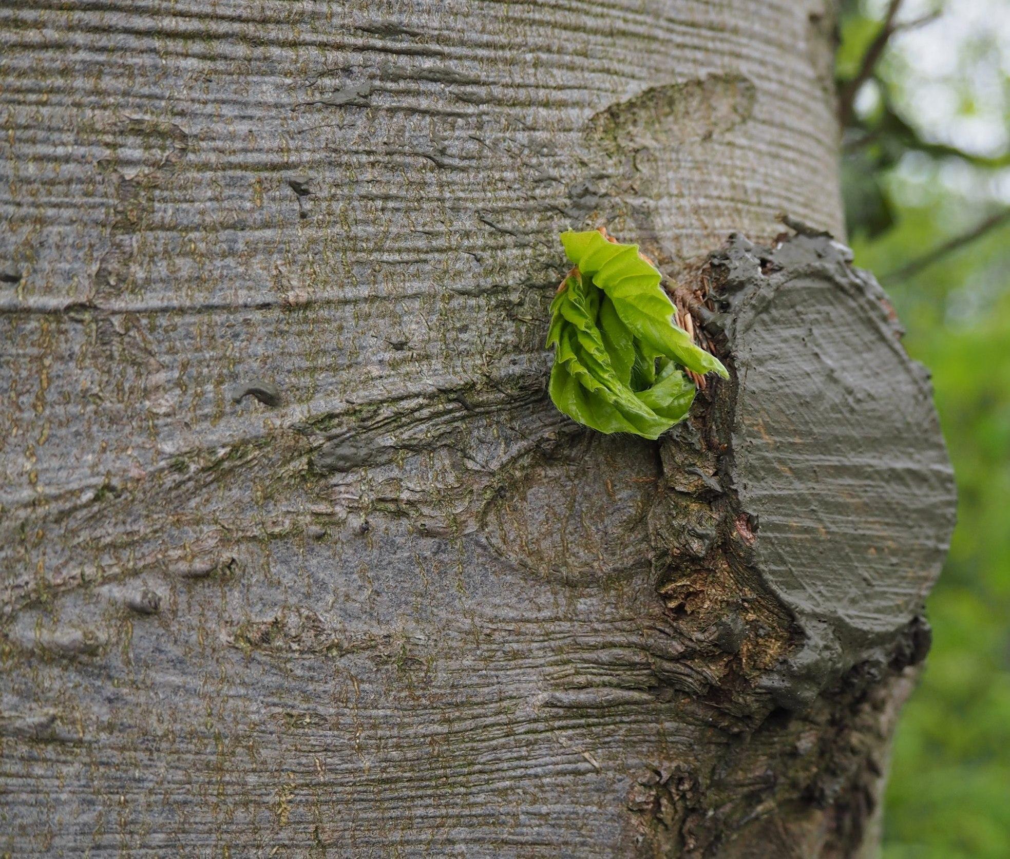 Knospendes Blatt an einem Baumstamm