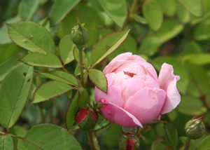 Eine gefüllte Rose kurz vor dem aufblühen